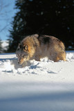 Wary Gray Wolf (canis lupus) in the Snow