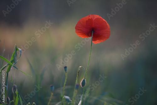 red poppy in field - 235801217