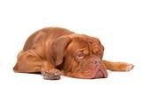 French Mastiff dog © Erik Lam