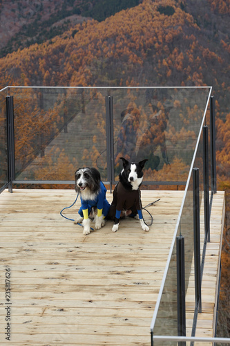 Black and white border collie sheep dog and Briquet Griffon Vendeen dog wearing full black color body suit standing on timber deck