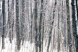Wild forest at winter snowstorm - 235824273