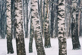 Birch forest at winter day - 235824444