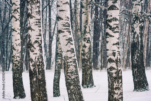 Birch forest at winter day