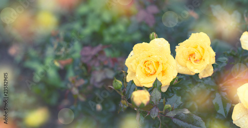 Banner Yellow rose Bush in the garden Blooming plant blurred background selective focus Top view