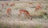 Thomson Gazelle group