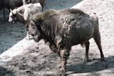 A herd of European bison - 235846270