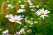 Wild Daisies in Meadow
