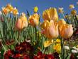 Tulipes jaune saumon dans un massif