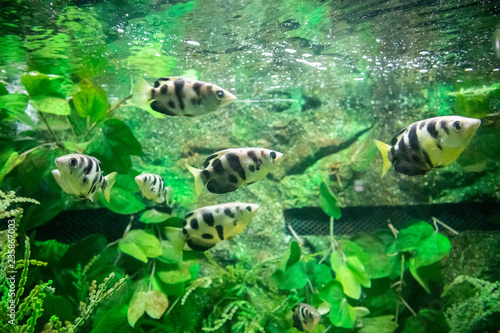 fototapeta na ścianę Archer fish in aquarium