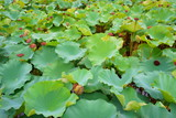 lotus pond. large green leaves and lotus seeds