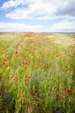 Blooming cornflower in rye field