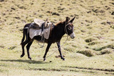 Donkey with saddle runs over a meadow