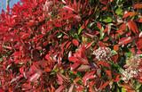 Haie de Photinia red robin - 235904890