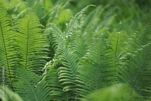 Scenic background for the design of fern thickets.