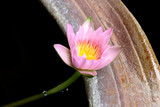 Pink lotus and lotus flower plant in pot