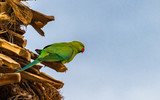 Wild green parrot among branches of date palms