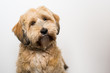 Hund mit hellem Fell vor weißer Wand