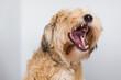 Hund mit hellem Fell bellt