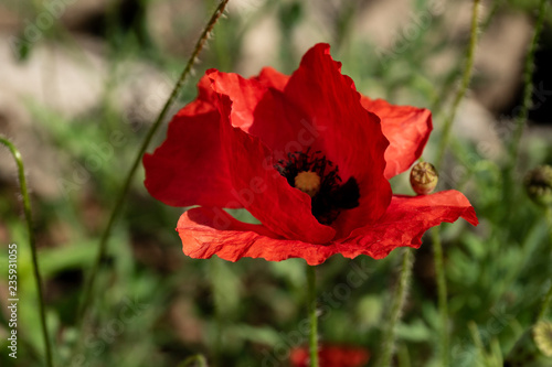 poppy, red petals, stem, blades of grass, flower bed, tenderness, summer - 235931055