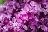 Lilaner Blüten des Flieders - 235935291
