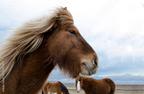 fototapeta na ścianę Funny and crazy Icelandic horse. the dark blue Icelandic sky