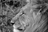 König der Tiere