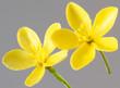 ST.JOHN'S WORT FLOWER