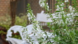 名城公園フラワーガーデン、雨のサルビア・ファリナセア - 235953295