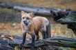 Curious Red Fox 4053