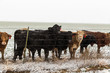 Cattle in Winter Storm