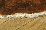 closeup of Serpula lacrymans fruiting body - 235990426