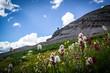 Wildflowers above Telluride Colorado