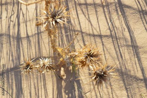 Spiny plant