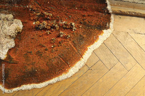 canvas print picture fruiting body of dry rot