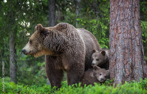 Leinwandbild Motiv She-bear and cubs in the summer forest. Scientific name: Ursus arctos. Natural  Background. Natural habitat. Summer season.