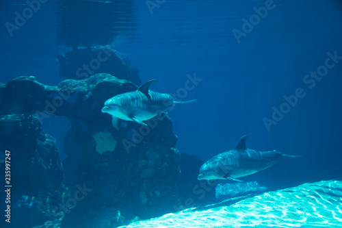 fototapeta na ścianę Underwater portrait of happy smiling bottlenose dolphins swimming and playing in blue water