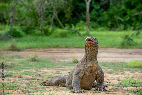 The Komodo dragon Varanus komodoensis raised the head with open mouth. It is the biggest living lizard in the world. Island Rinca. Indonesia.