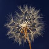 Dandelion flower on dark blue background