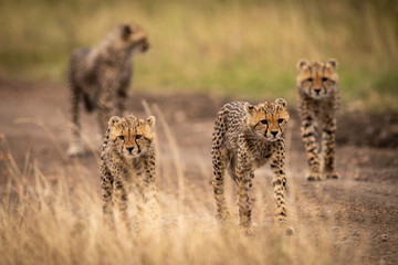 Four cheetah cubs walking down dirt track