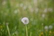 View of dandelion
