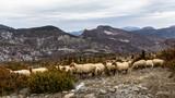 Troupeau de mouton dans les Baronnies, en Provence © serge