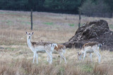 Herd of Fallow Deers (Dama dama), group of wild animals.