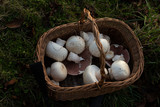 Agaricus arvensis in a basket
