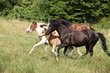 Batch of horses running on pasturage