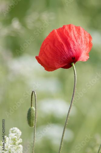 red poppy in green background - 236115853