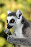 Lemure - 236116806