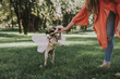 Beautiful pug puppy with fairy wings is playing with girl and gnawing toy bone