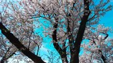 Cherry tree (Saukra tree) blooming in Japan. With blue sky. - 236139094