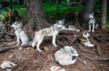 Husky dogs in the forest