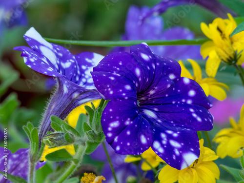 Pétunia 'Night sky' de couleur violet sombre à spots blancs  - 236144078